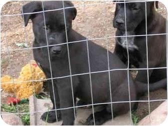 Labrador Retriever/German Shepherd Dog Mix Puppy for adoption in Howell, Michigan - joey