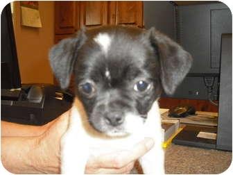Pug/Chihuahua Mix Puppy for adoption in Wickenburg, Arizona - Pippa