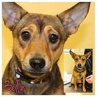 Dachshund/German Shepherd Dog Mix Puppy for adoption in Garden City, Michigan - Bellini