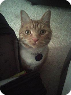 Domestic Shorthair Cat for adoption in Parkton, North Carolina - Baby