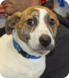 Labrador Retriever Mix Dog for adoption in Brooklyn, New York - Rain