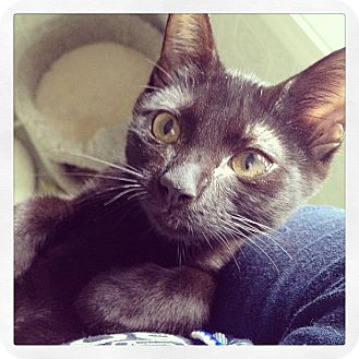 Domestic Shorthair Kitten for adoption in High Point, North Carolina - Penny