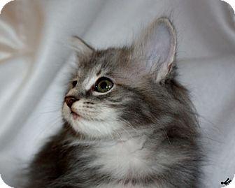 Domestic Mediumhair Kitten for adoption in Xenia, Ohio - Lucille