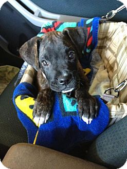 Boxer/Labrador Retriever Mix Puppy for adoption in Cave Creek, Arizona - Sarge