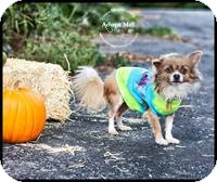 Chihuahua Dog for adoption in Shawnee Mission, Kansas - Oliver