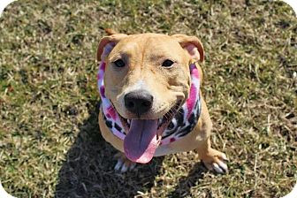 Pit Bull Terrier Mix Dog for adoption in Southampton, Pennsylvania - Eve