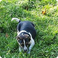 Adopt A Pet :: Treat - puggle - Toronto/Etobicoke/GTA, ON