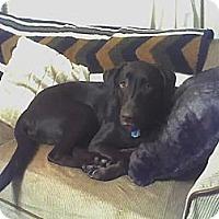 Adopt A Pet :: Cocoa - Windsor, MO