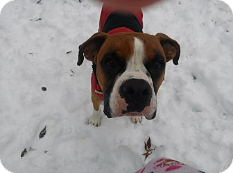 Boxer Dog for adoption in Westminster, Maryland - Ozzy