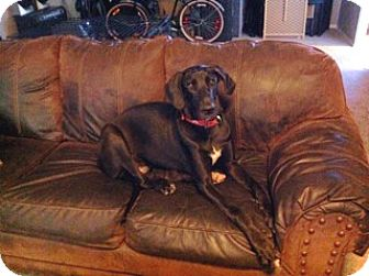 Great Dane Dog for adoption in Austin, Texas - Justice