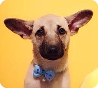 Labrador Retriever Mix Puppy for adoption in Castro Valley, California - Bertie
