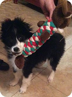 Sheltie, Shetland Sheepdog Mix Puppy for adoption in Richmond, Virginia - Boo