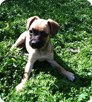 Pug/Beagle Mix Puppy for adoption in San Diego, California - PETEY