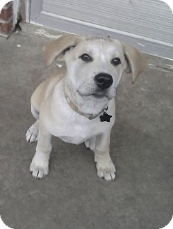 Great Pyrenees/Labrador Retriever Mix Puppy for adoption in Tulsa, Oklahoma - Dyson  *Adopted