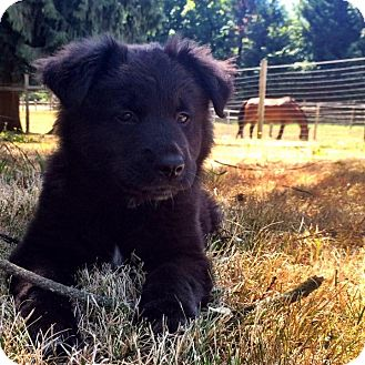 German Shepherd Dog/Labrador Retriever Mix Puppy for adoption in Mill Creek, Washington - Heidi*Adoption Pending*