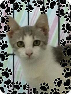 Domestic Shorthair Kitten for adoption in Pueblo West, Colorado - #1