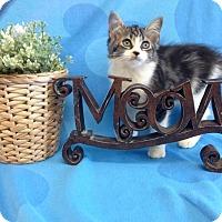 Adopt A Pet :: Sangria - Coral Springs, FL