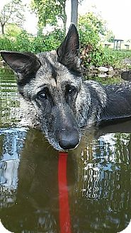 German Shepherd Dog Mix Dog for adoption in Mt. Clemens, Michigan - Molly