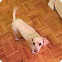 Adopt A Pet :: Noelle - Manhattan, NY