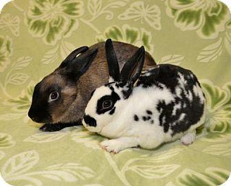 Mini Rex Mix for adoption in Chesterfield, Missouri - Heidi and Gretchen