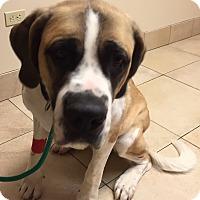 Adopt A Pet :: Buttercup - Denver, CO