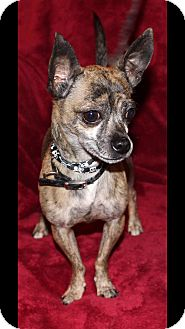 Chihuahua Dog for adoption in Va Beach, Virginia - Tiger
