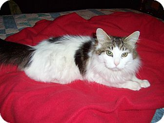Maine Coon Cat for adoption in Taylor Mill, Kentucky - Izadora-DECLAWED MAINE COON
