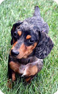 Dachshund Dog for adoption in Bridgeton, Missouri - Oreo-Adoption pending