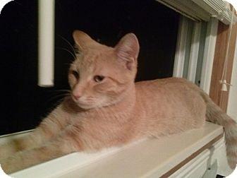 Domestic Shorthair Cat for adoption in Warren, Michigan - Kenickie