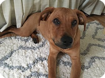 Labrador Retriever/Hound (Unknown Type) Mix Puppy for adoption in Paterson, New Jersey - Luna