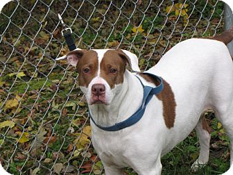 American Bulldog/Labrador Retriever Mix Dog for adoption in Reed City, Michigan - NIIGII