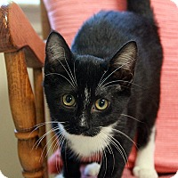 Adopt A Pet :: Blackeyed Susan - Waco, TX