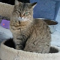 Domestic Longhair Cat for adoption in Centerton, Arkansas - Fiona
