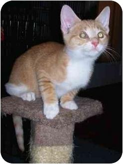 Domestic Shorthair Kitten for adoption in cincinnati, Ohio - Celine's All Stars
