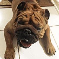 Adopt A Pet :: Vinnie - Park Ridge, IL