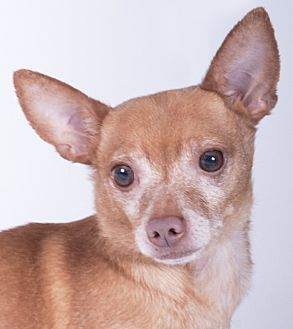 Chihuahua Dog for adoption in Chicago, Illinois - Blue