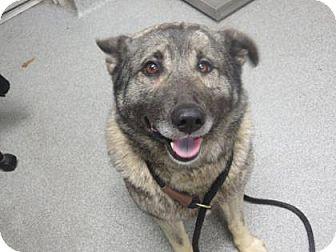 Norwegian Elkhound/Shepherd (Unknown Type) Mix Dog for adoption in Lincolnton, North Carolina - Mino