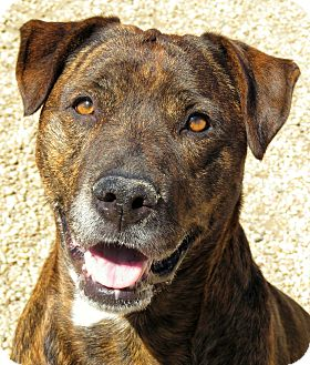 Pit Bull Terrier Mix Dog for adoption in West Babylon, New York - Cocoa