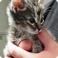 Adopt A Pet :: Toni - Casa Grande, AZ