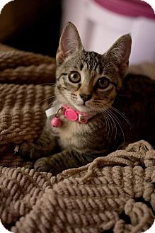 Domestic Shorthair Kitten for adoption in Atlanta, Georgia - Emmie171411