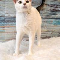 Adopt A Pet :: Shania - Elkhorn, WI