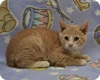 Domestic Shorthair Kitten for adoption in Medina, Ohio - Jimmy