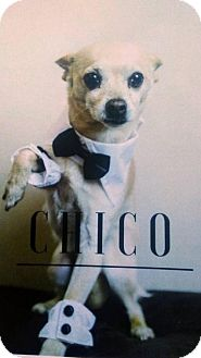 Chihuahua Dog for adoption in Wilmington, Delaware - Chico - COURTESY LISTING