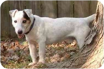 Jack Russell Terrier Dog for adoption in Thomasville, North Carolina - Billy