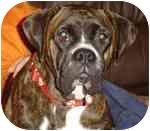 Boxer Dog for adoption in Jacksonville, Florida - Bella