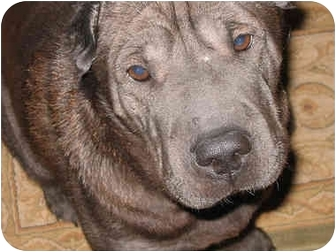 Shar Pei Dog for adoption in Newport, Vermont - Millie