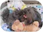 Yorkie, Yorkshire Terrier/Shih Tzu Mix Dog for adoption in Buffalo, New York - Wasabi: 8 pounds