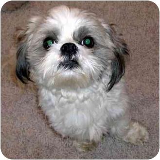 Shih Tzu Dog for adoption in Overland Park, Kansas - Victor