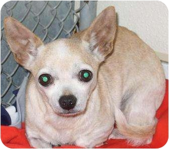 Chihuahua Dog for adoption in Mt. Vernon, Illinois - Belle