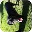 Photo 2 - Labrador Retriever Dog for adoption in El Segundo, California - Smokey